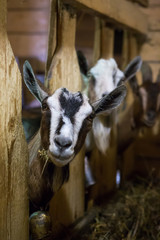Herd of goats in wooden barn on a cheese farm