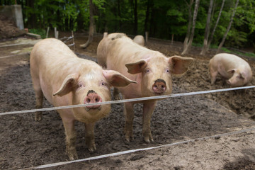 Young pigs in mud in herd at pig breeding farm