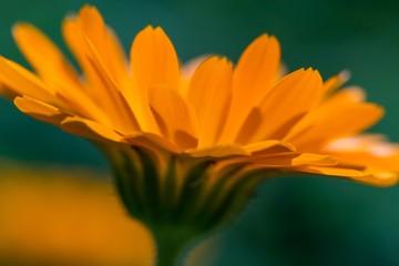 Marigold flower (Calendula officinalis) in close up