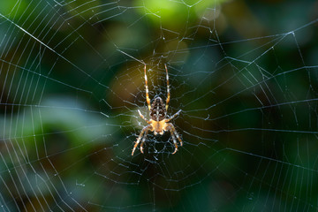 Garden spider in web in the sunlight