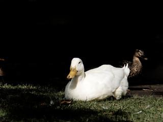 Canard blanc