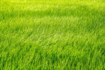 風になびく稲