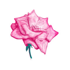 Hand drawn beautiful flower of pink rose on a white background. Sketch. Vector illustration.