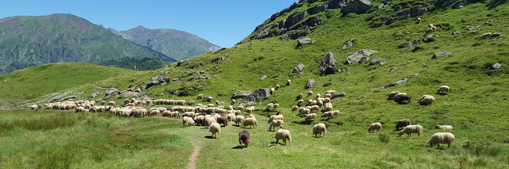 sheep in freedom are in pasture in the summer mountain