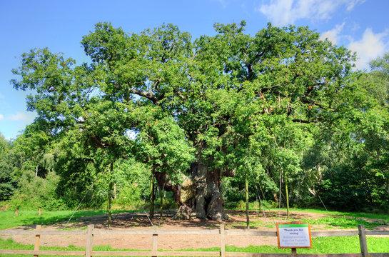 Major Oak, Sherwood Forest, Nottinghamshire..