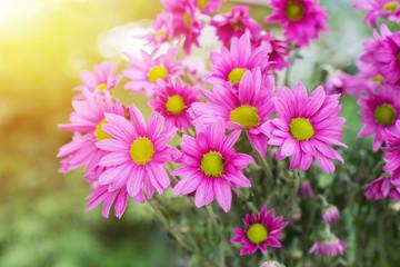 Beautiful chrysanthemum flowers with bokeh background
