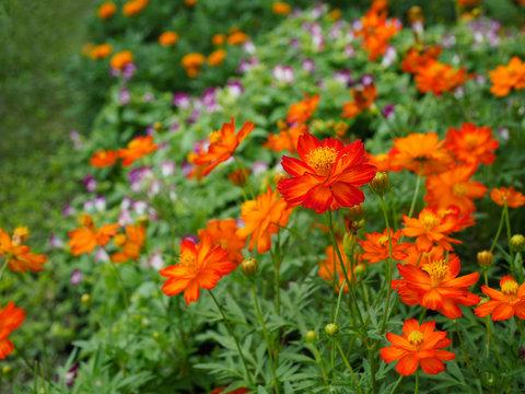 Beautiful orange cosmos flowers.