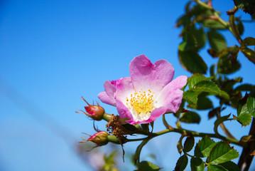 Pink wild rose flower head