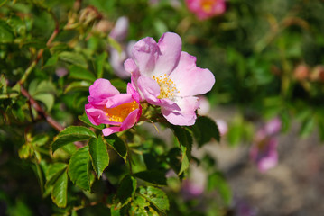 Wild rose shrub with pink roses