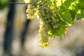White grape bunches on the vine