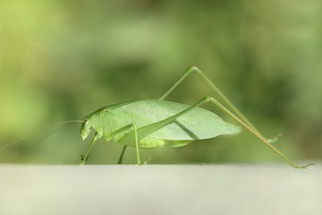 Fotoväggar - Katydid (Tettigoniidae)