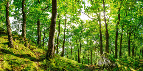 Beautiful green forest with old trees and bright sun