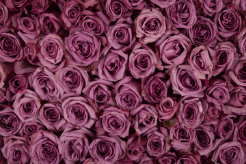 blanket of purple roses
