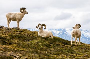 Pecora di Dall, Dall Sheep, thintorn sheep, ovis dalli