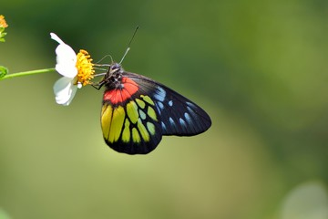 Butterfly from the Taiwan (Delias pasithoe curasena) Red shoulder butterfly