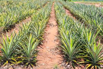Wall Mural - Pineapple (Ananas comosus) plantation