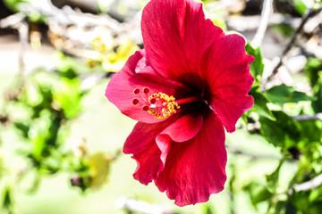 Hibiscus Flower in Kaanapali, Maui, Hawaii