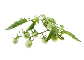Young cherry green tomato on the bushes,from the flower to the fruit  isolated over white