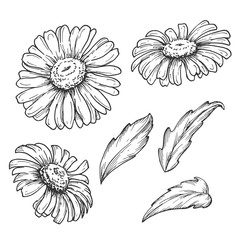 Botanical camomile flowers and leaves, hand drawn monochrome etching set isolated on white background. Vintage vector illustration.