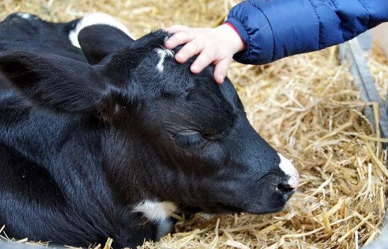 A child´s hand caresses a little calf