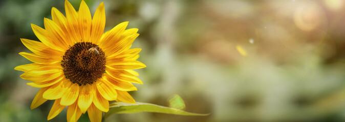 einzelne Sonnenblume im Sonnenlicht