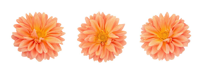 Dahlia flower set isolated on a white.
