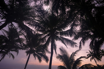 Tropical Coconut trees