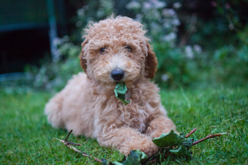 Labradoodle Puppy with Leaf