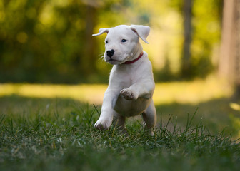 Puppy Dogo Argentino plays in grass