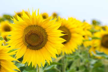 Yellow sunflowers in summer field close-up