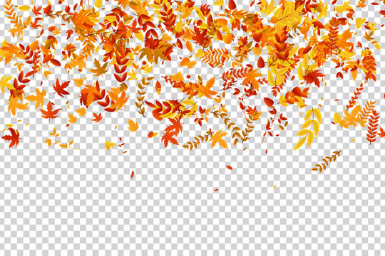 Vector realistic isolated red, yellow and orange maple and oak falling leaves confetti for decoration and covering on the transparent background. Concept of Happy Autumn.