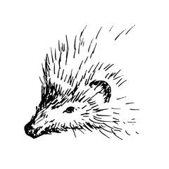 Hand drawn hedgehog, wild animal. Sketch, vector illustration.