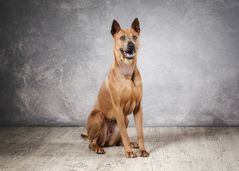 Dog. Young Thai Ridgeback dog on textured backgrond