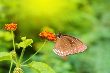 Monarch on a redflower