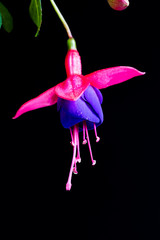 Three Beautiful Fuchsia Flowers Isolated on Black Background Hanging from the top
