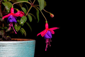 Two Fuchsia, Purple Pink-Red Isolated on Black Background