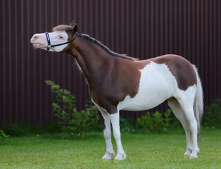 American miniature horse. Pinto mare standing on green grass.