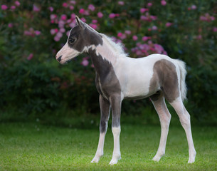 Wall Mural - American miniature horse. Pinto foal is one month of birth.