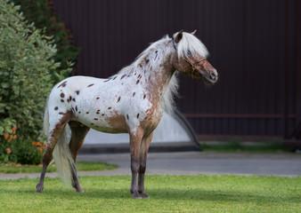 Wall Mural - Appaloosa American miniature horse standing on green grass.