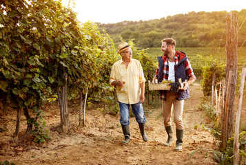 winemaker father and son harvesting grapes.