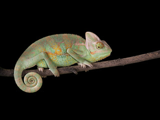 Chameleon on a branch with a spiral tail. Green scales