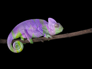 chameleon on a branch with a spiral tail. Purple and green
