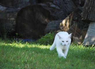 White cat outside