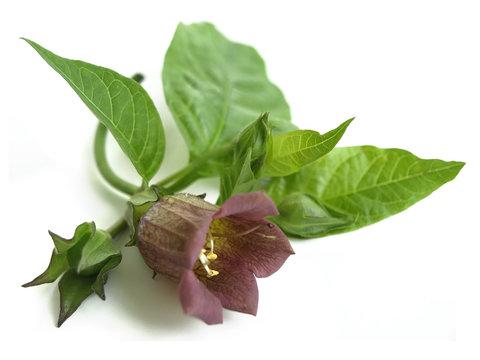 Belladonna (Atropa belladonna)