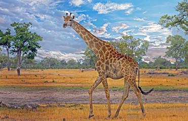 Large Male giraffe walking on the African Plains with a wispy blue sky in Hwange, Zimbabwe