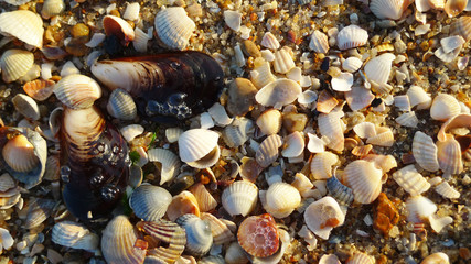 Banner, poster, pattern with seashells on sand at a summer beach. Sea summer vacation, time for holiday. Variety of sea shells, sand as background with space for the text. Top view. Marine life.
