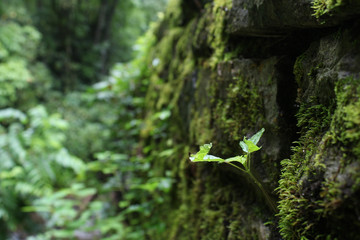 North American Forest Plant Growing on Moss Covered Wall