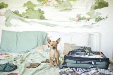 Zen Chihuahua