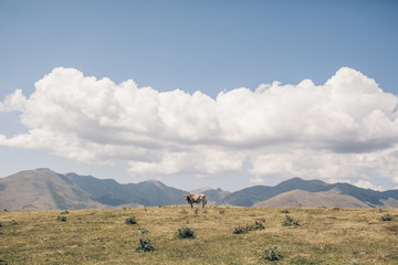 Cow on the top of the mountains