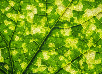 Aluminium Prints Macro photography natural background from green leaf with yellow squares